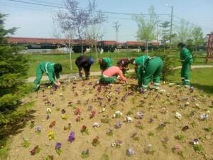 Panseluţe plantate la Mioveni