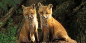 Momeli antirabice pentru vulpi