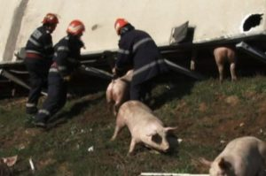 Porcinele din tirul răsturnat, recuperate abia azi