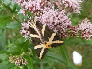 Exponatul lunii iunie - fluturele vărgat