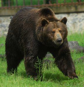 S-a solicitat împuşcarea ursului de la Dâmbovicioara