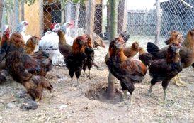 Gripă aviară în Argeş?