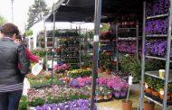 Simfonia Lalelelor a... dârdâit pe portativ, dar florile s-au vândut bine şi pe frig