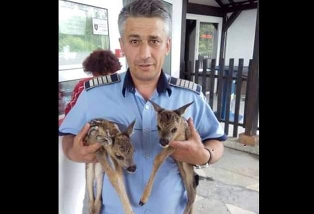 AZI - Doi pui de căprioară, salvaţi de la moarte sigură de un poliţist din Cotmeana