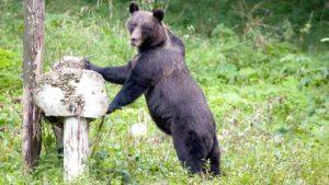 Urşii au atacat din nou
