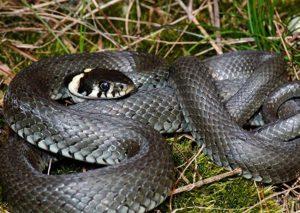 Cât de periculos e şarpele de casă?