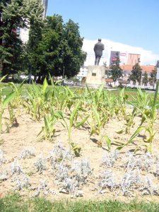 Cultură de porumb în Grădina Publică din Piteşti