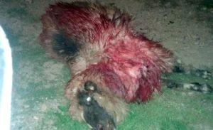 Urşii au atacat din nou în Argeş