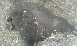 Urs decapitat la Mălureni