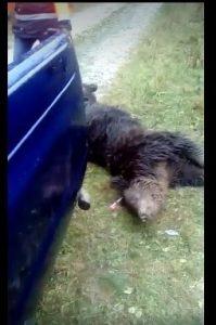 Urs captiv într-un laţ la Mălureni