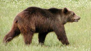 AZI - Vânător din Vlădeşti, omorât de un urs, la Aninoasa