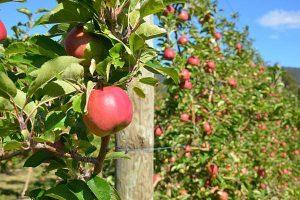 Avem cele mai mari plantaţii, dar importăm mere