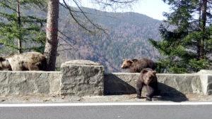 Urşii au reapărut pe Transfăgărăşan