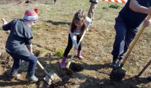 Se mai şi plantează pomi, nu doar se taie-100 de puieţi, plantaţi în pădurea Trivale